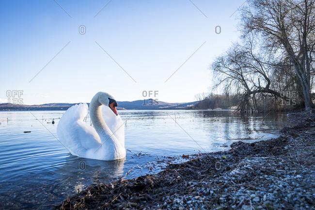 Mute swan on an Italian lake