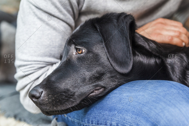 Head of black dog on his owner's lap
