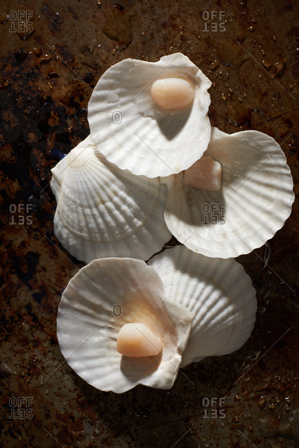 Bay scallops in their shell.