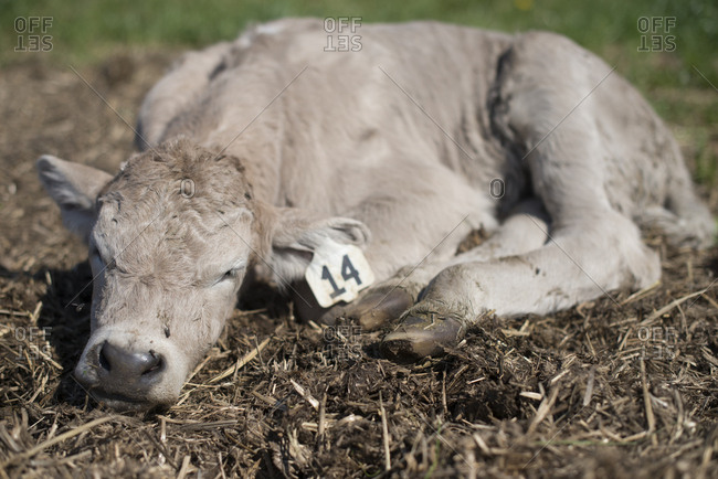 Calf with ear tag