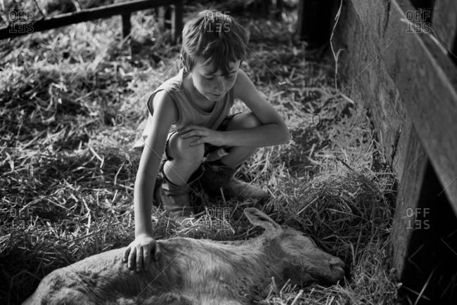 Boy petting a calf