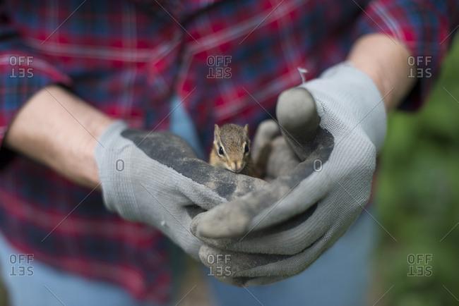 A chipmunk in gloved hands