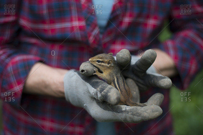 Gloved hands holding chipmunk