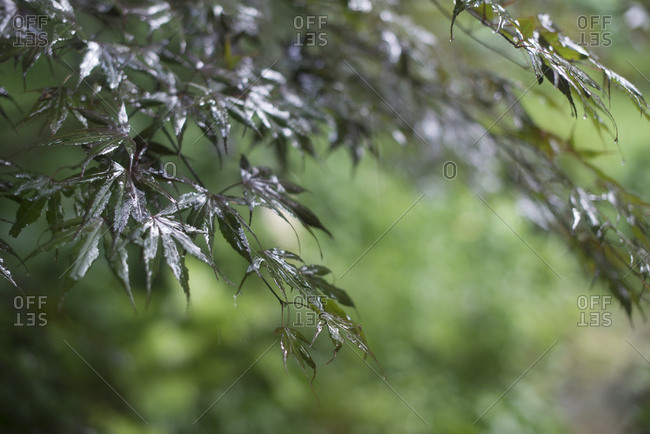 Rain water on maple leaves