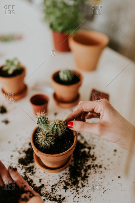 Hands of a woman placing earth in a terracotta pot with a cactus