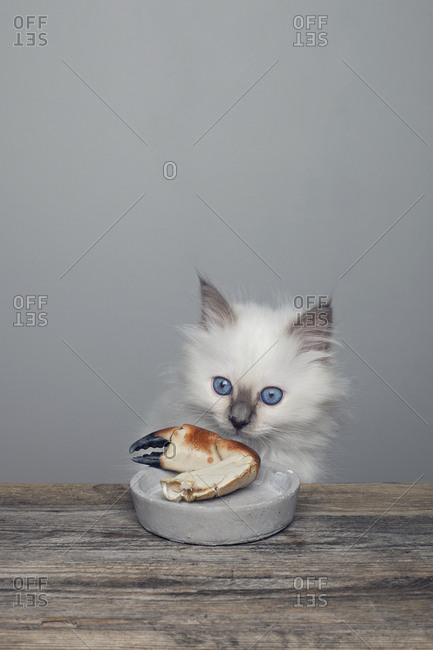 Sacred birman kitten investigating a crab claw on a small plate