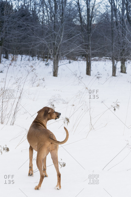 Dog standing in a snowy field