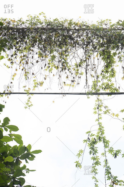 Vines growing on wires