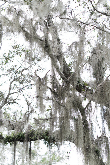 Spanish moss growing on tree