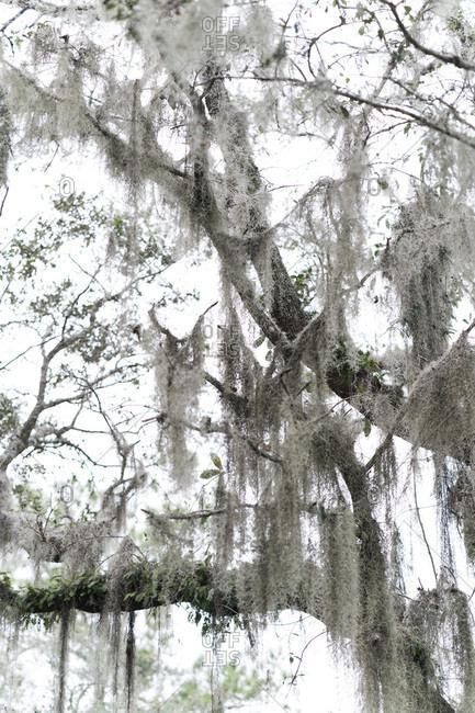 Spanish moss growing on tree