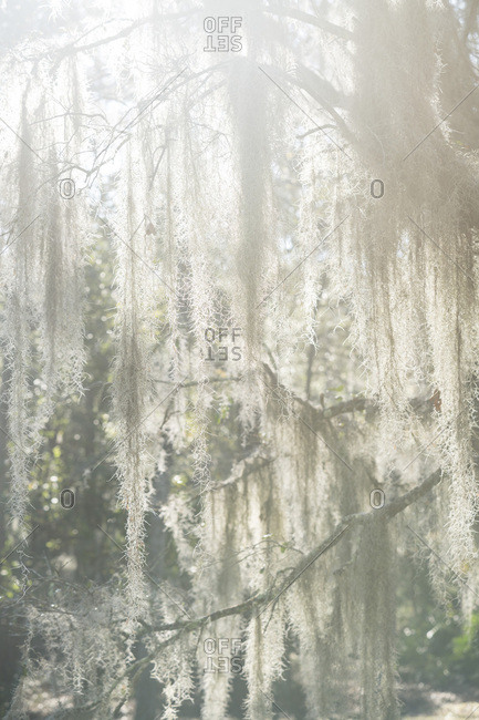 Spanish moss in sunlight haze