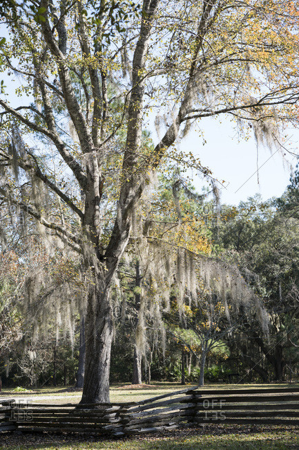 Tree with Spanish moss in field