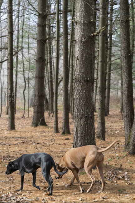 Two dogs exploring woods together