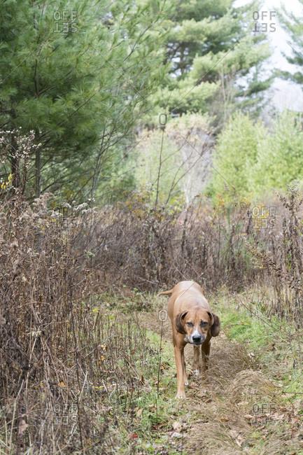 Dog walking a wooded path