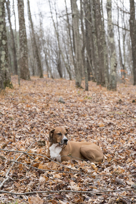 Dog lying in leaves in woods