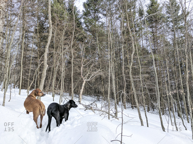 Dogs exploring in rural winter setting