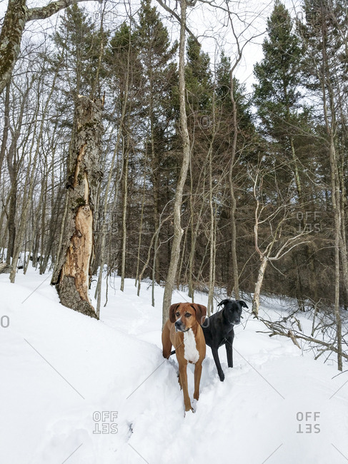 Dogs exploring in rural winter