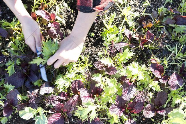 Hand picking greens from garden