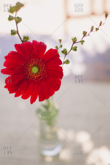 Close up of a red daisy