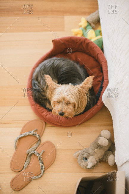 Yorkie resting in a pet bed