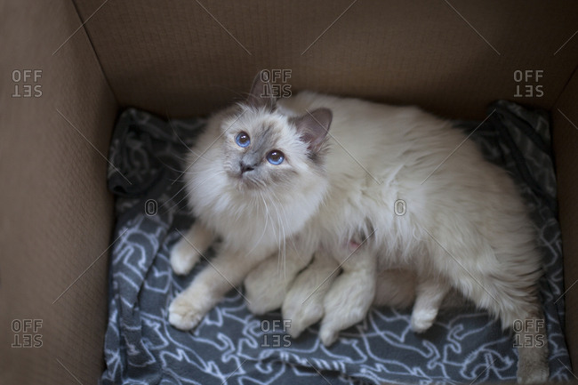 Birman cat with kittens in box