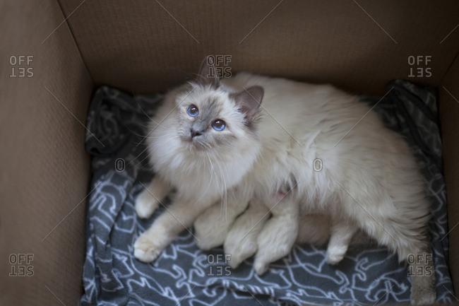 Birman cat with kittens in box