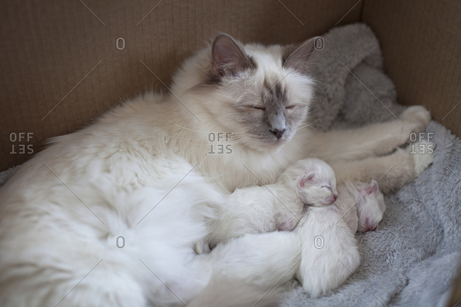 Sacred birman cat and kittens