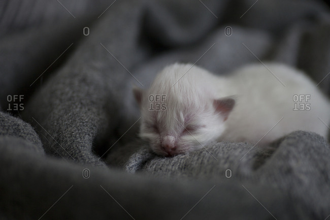 Sacred birman kitten sleeping - Offset