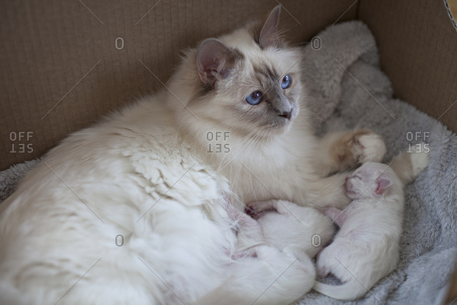 Sacred birman cat with her kittens