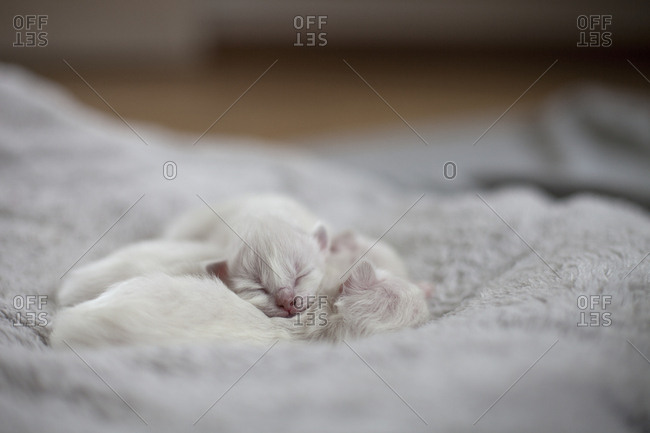 Sacred birman kittens sleeping together