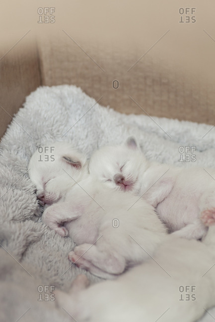 Sacred birman kittens napping