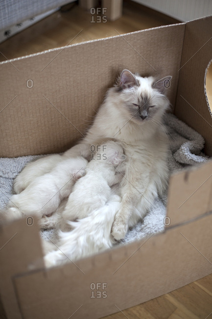 Sacred birman kittens nursing
