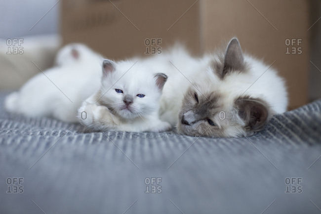 Sacred birman mother with a kitten