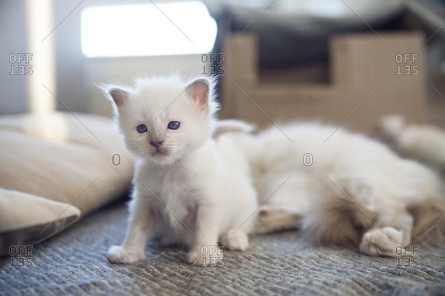 Sacred birman kitten sitting up