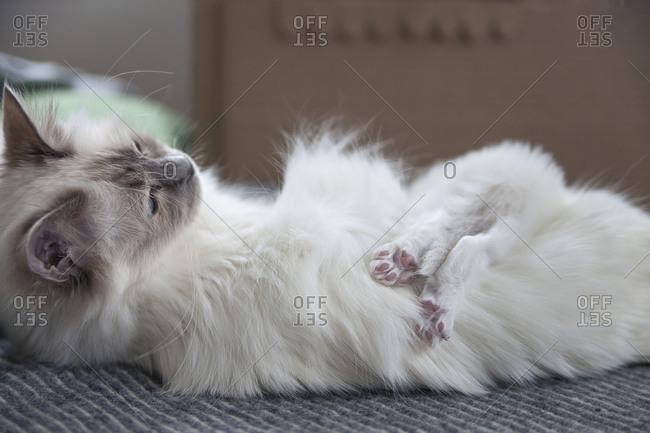 Sacred birman kitten lying on mother
