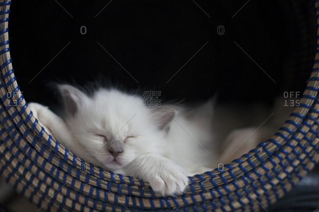 Sacred birman kitten sleeping in basket