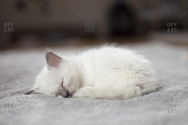 Sacred birman kitten taking nap