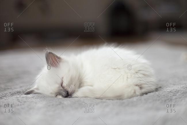 Sacred birman kitten taking nap