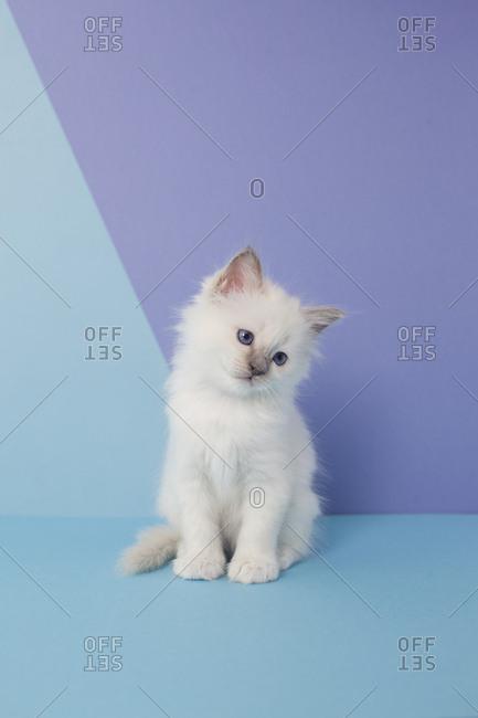 Sacred birman kitten in studio shot