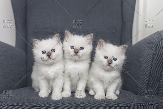 Sacred birman kittens in chair