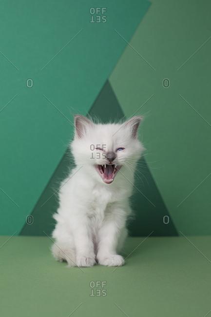 Sacred birman kitten yawning