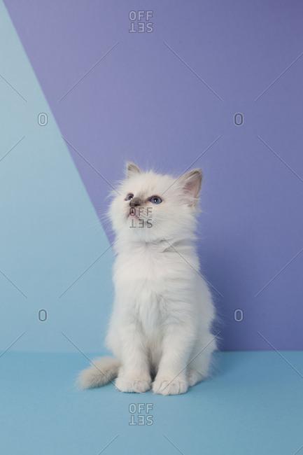 Sacred birman kitten looking up