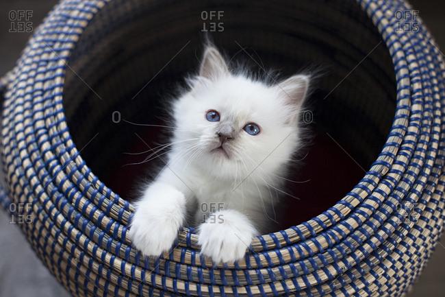 Sacred birman kitten in basket