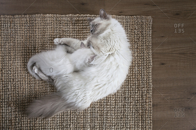 Sacred birman kitten and mother