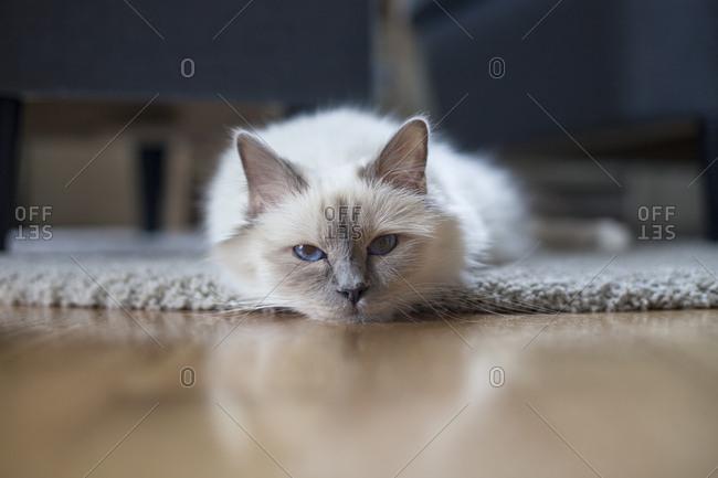 Sacred birman cat on floor