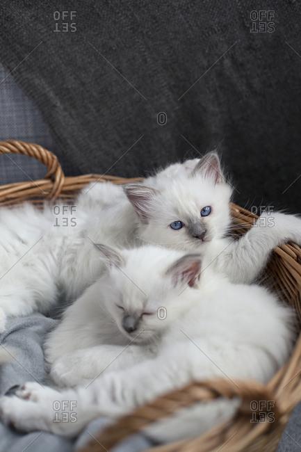 Sacred birman kittens in basket