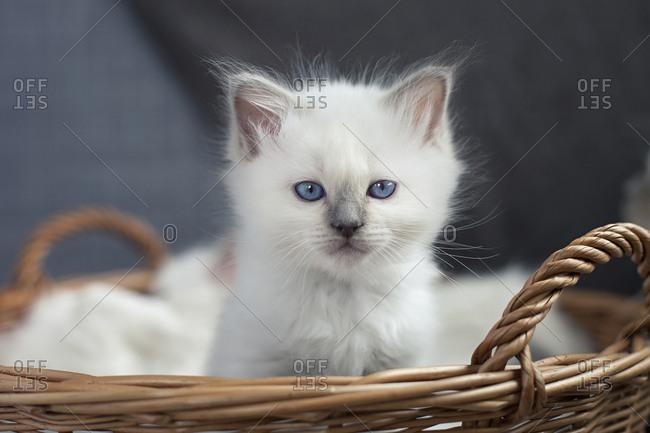 Sacred birman kitten in a basket