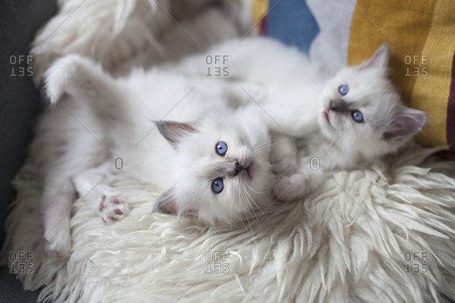 Two sacred birman kittens