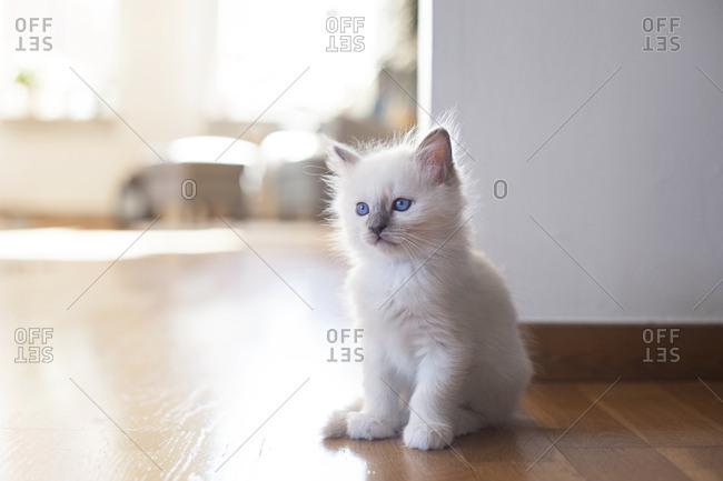 Sacred birman kitten on floor