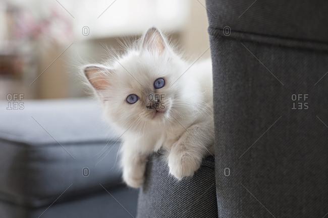 Kitten looking around chair